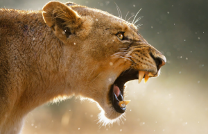 Lioness roars